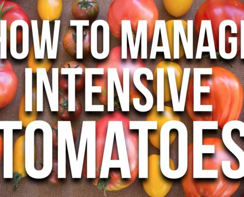 HOW TO MAnaga tomatoes